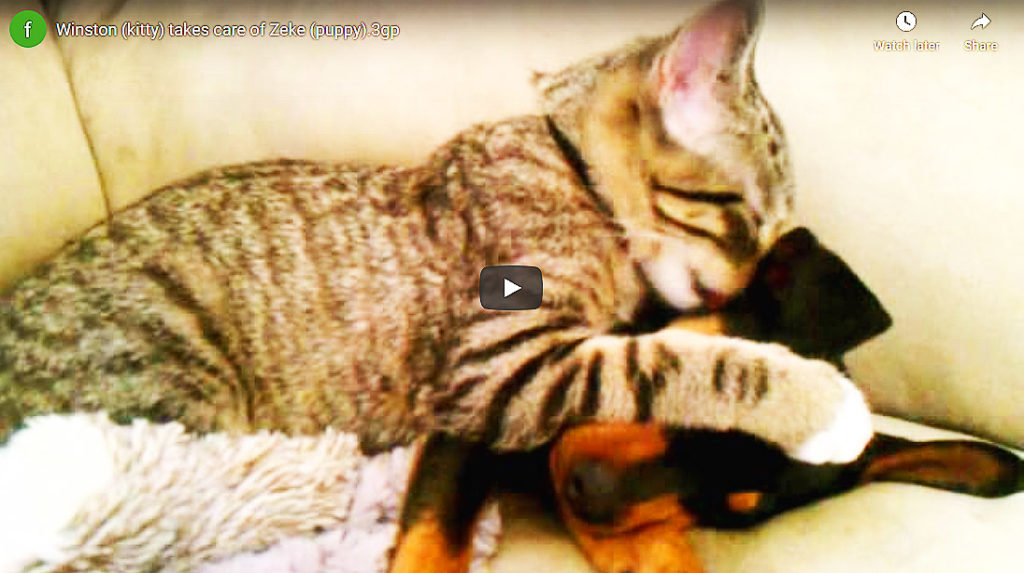 Very Sick Doggie Got Home From Vet And What The Cat Did, Is Beyond Words (Video)