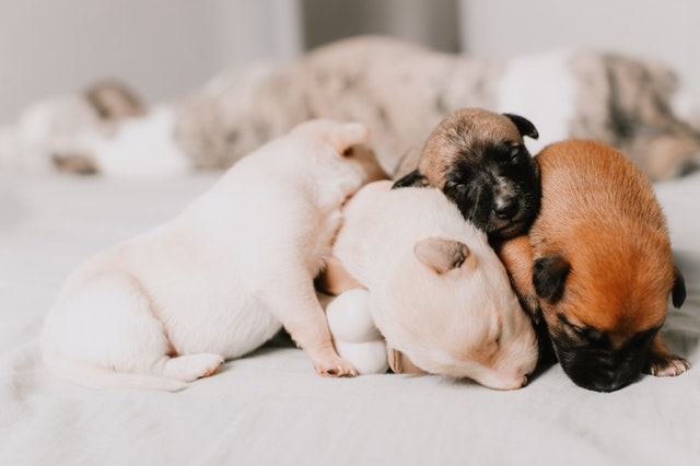 TWENTY ONE Puppies In One Birth! WOW!