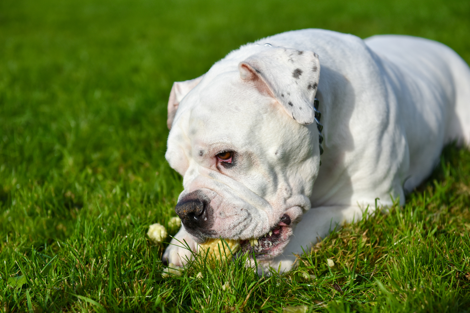 White american bulldog is eating corn on the grass