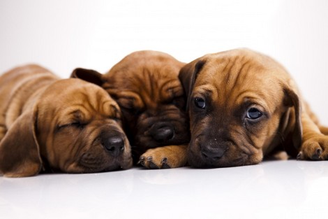 How To Prepare New Puppy?