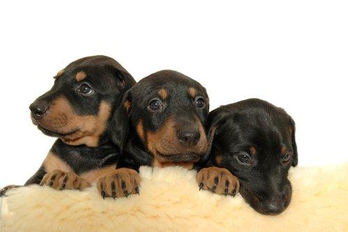 Three rottweiler puppies