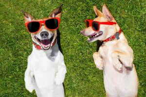 Two funny dogs smiling and wearing sunglasses