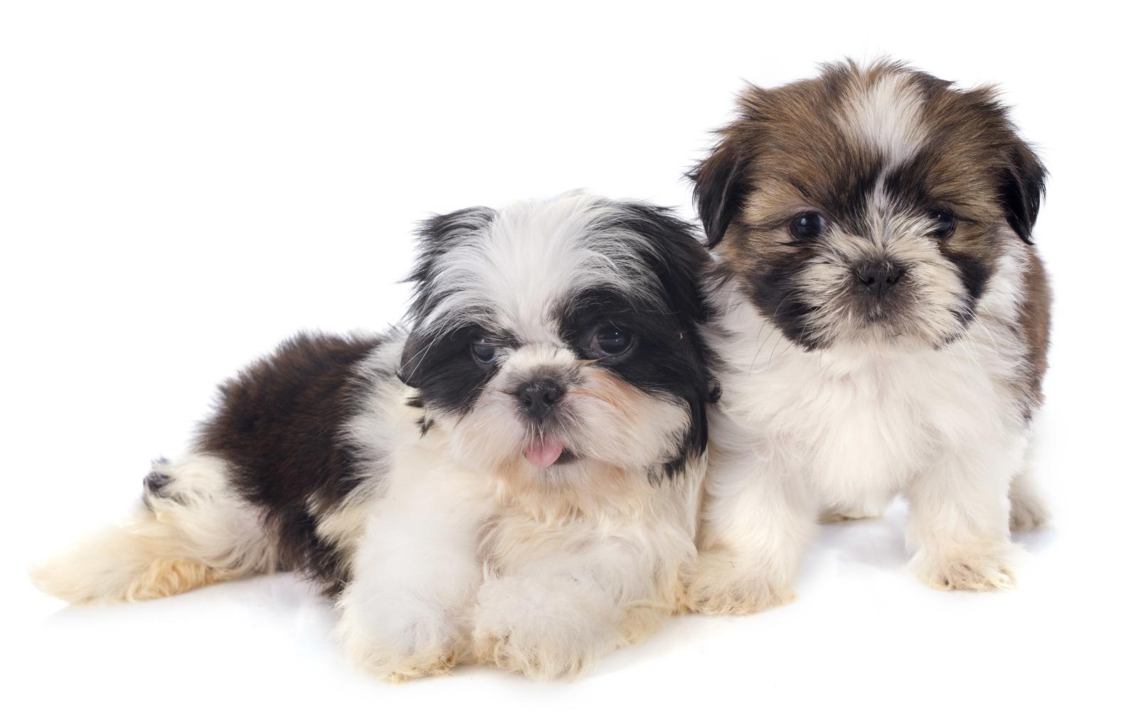 puppies-shitzu