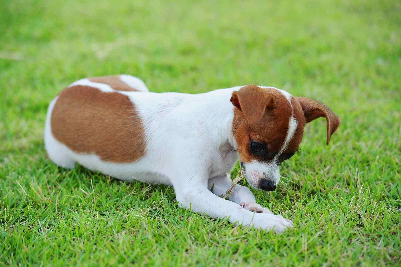 jack russell terrier puppy eating grass