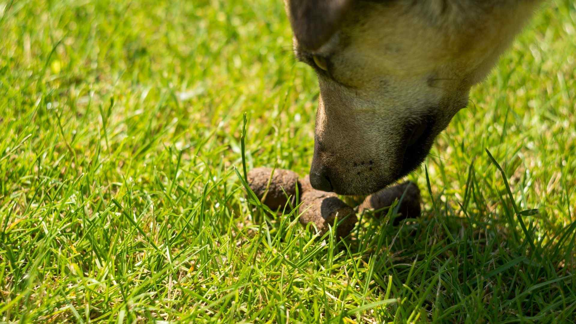 one of the weird things dogs do is eating their own poop