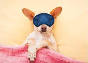 chihuahua dog wearing an eye mask, sleeping in bed like a baby dreaming sweet dreams