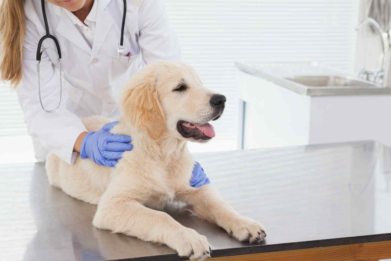 dog chases tail, goes to the vet for check up
