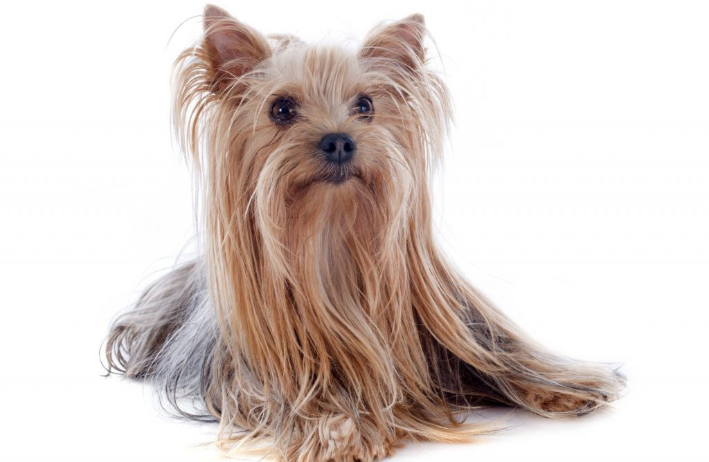 yorkshire terrier in white background